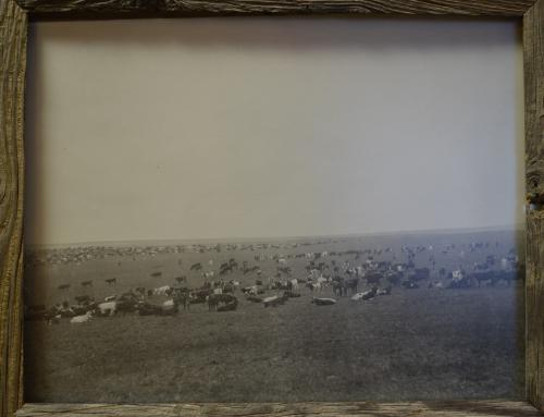 Stewarts Collection Cattle Round Up 1885
