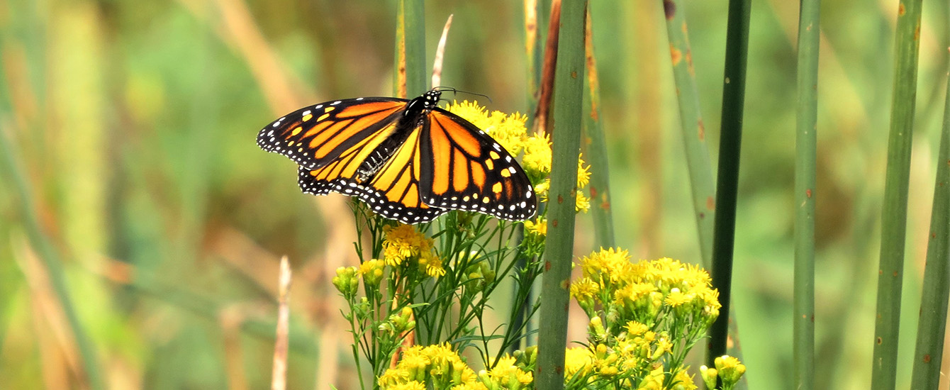 Monarch Butterfly nature center photo