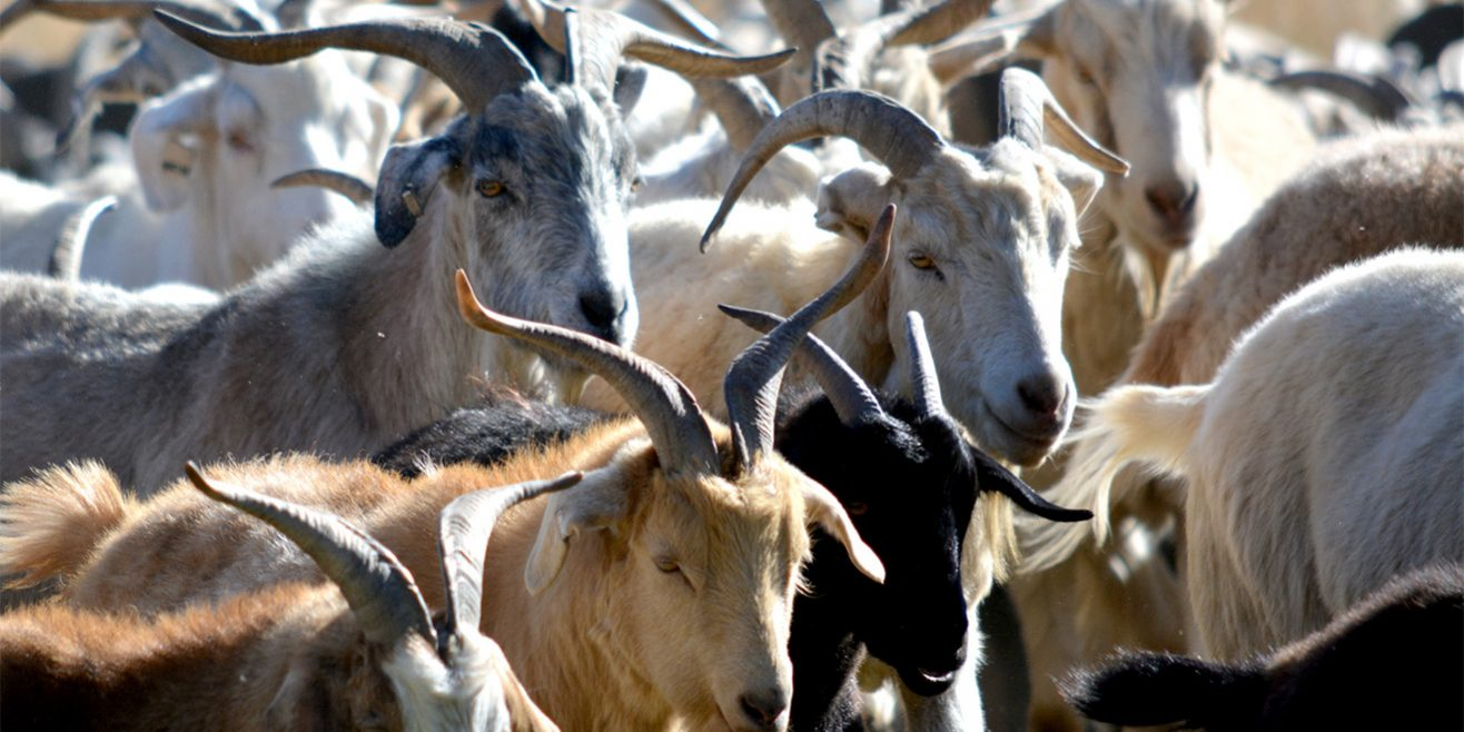 goats return to bear creek regional park for the 20th year el paso